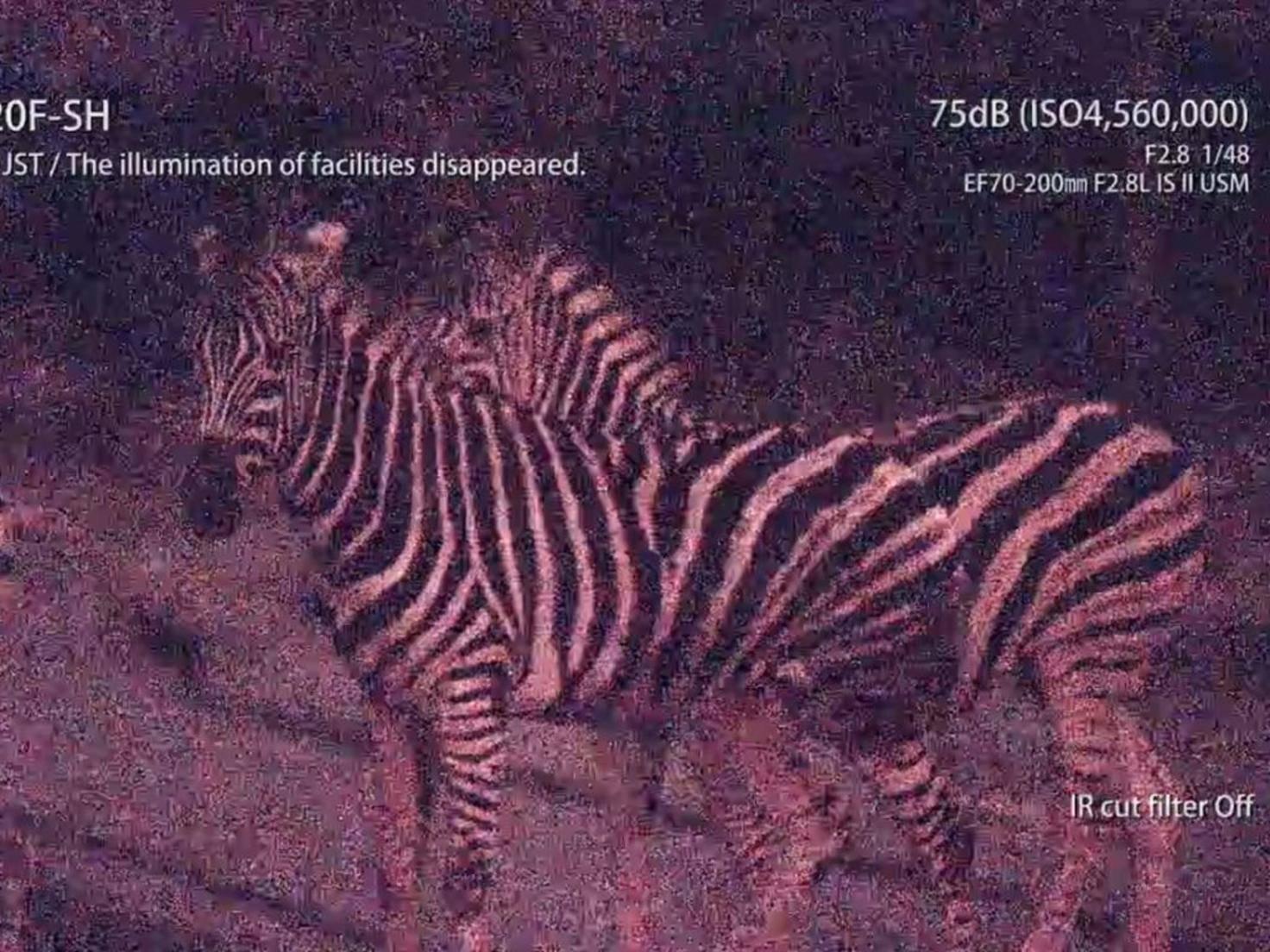 Diese Zebras wurden mit 75 dB bei tiefschwarzer Nacht gefilmt.