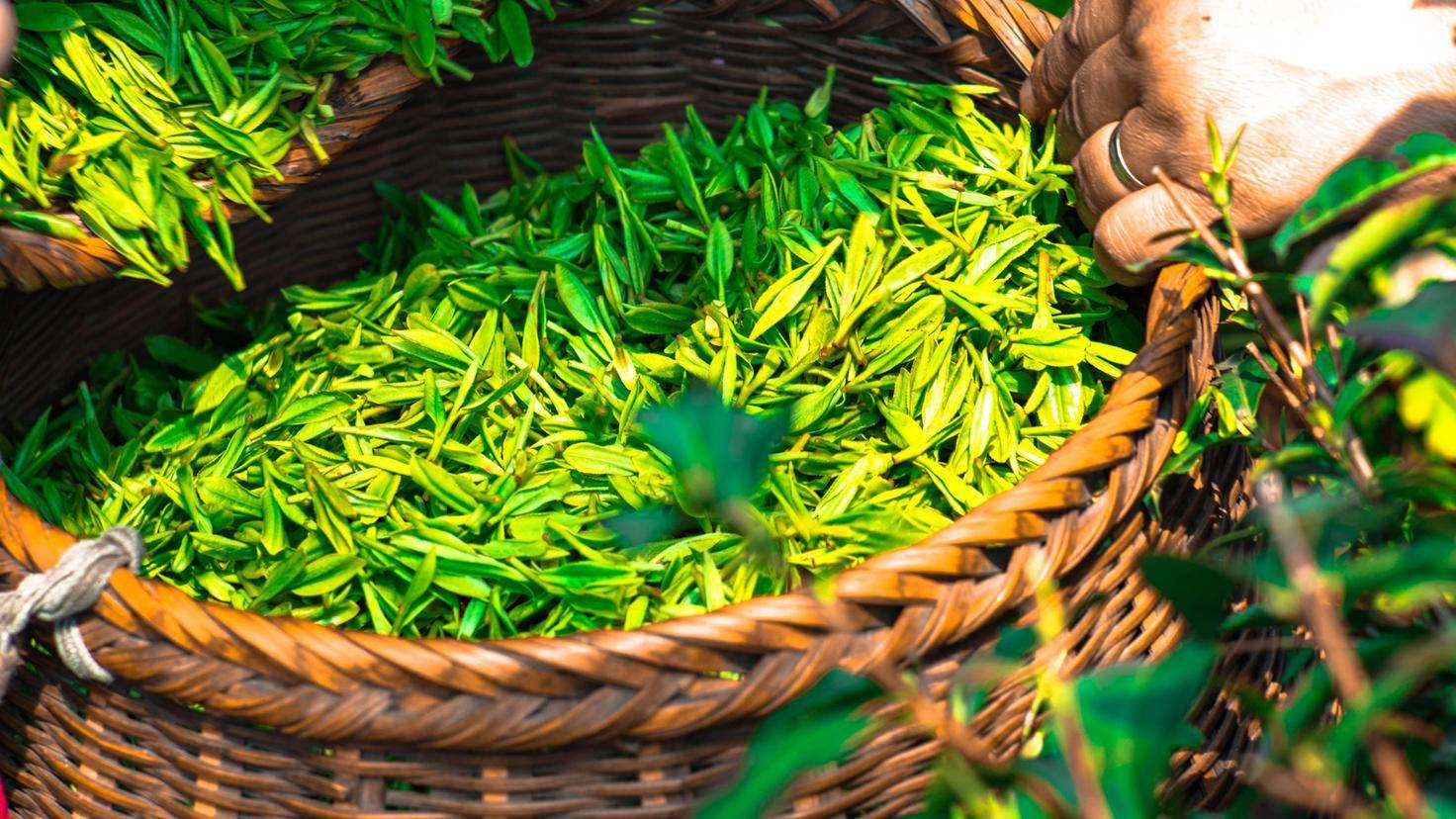 In Form von Teebeuteln kann grüner Tee im Badewasser ziehen.
