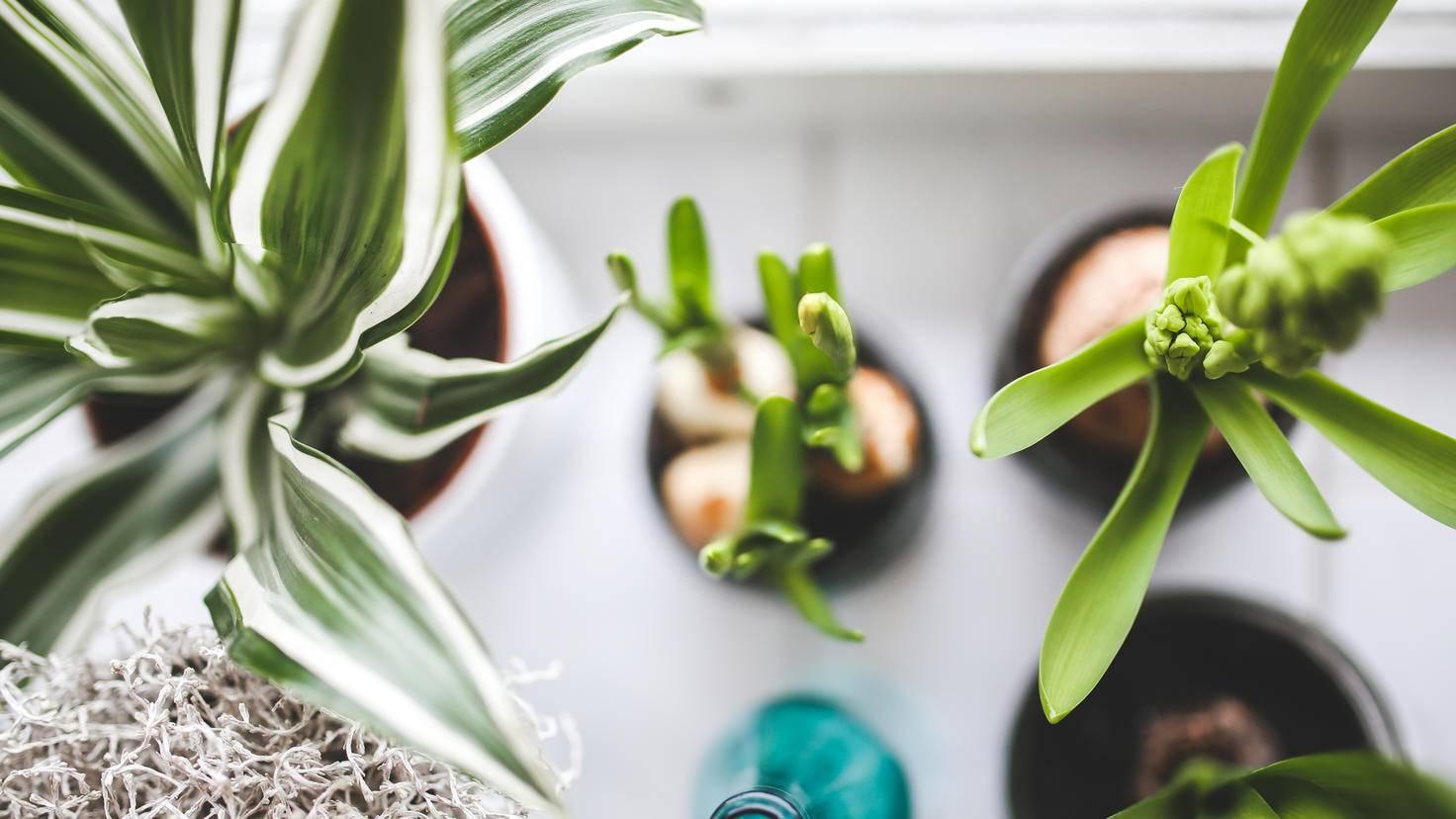 Zimmerpflanzen sorgen für ein angenehmes Raumklima.