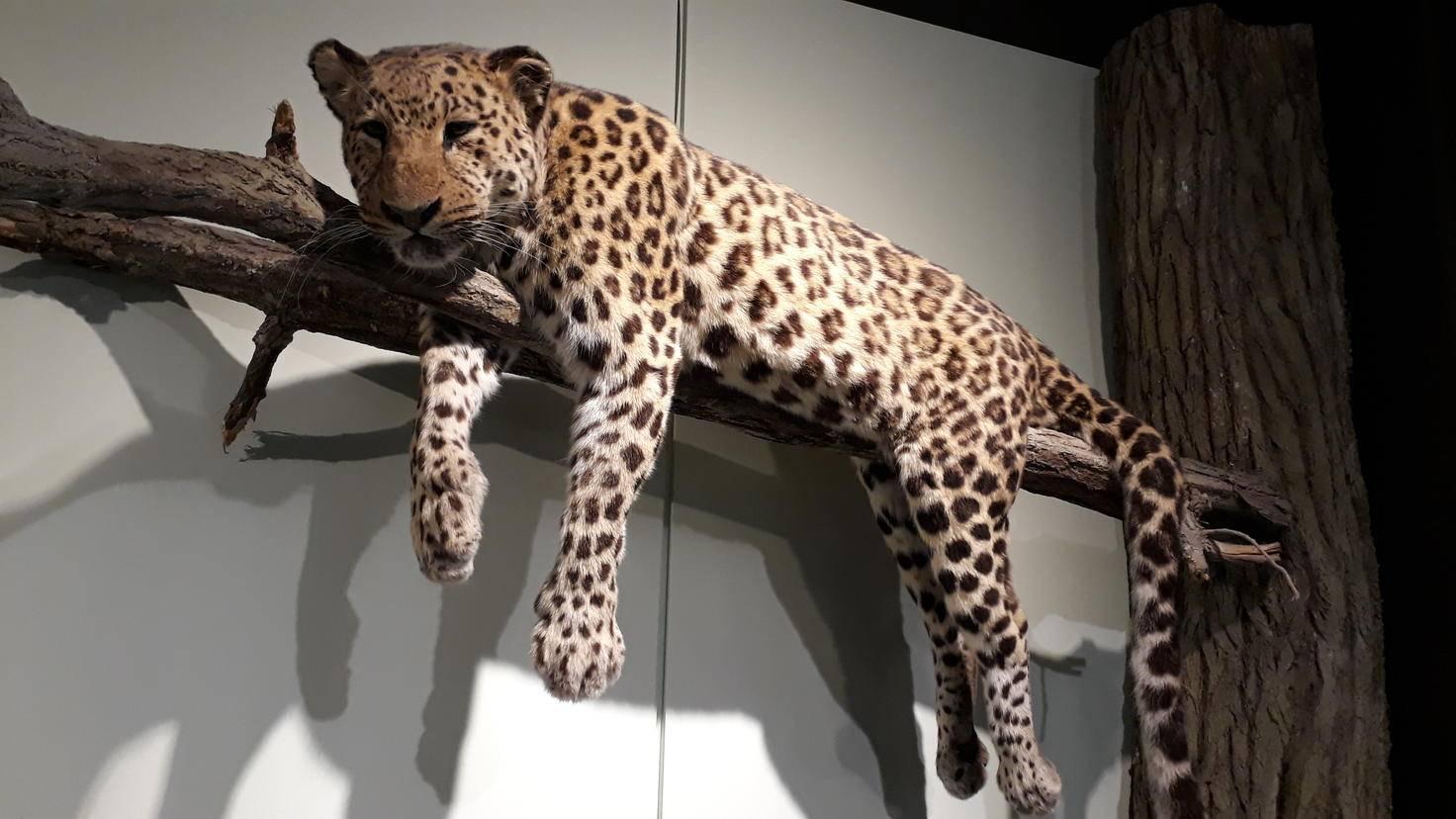 So schnell wie ein Gepard (hier nur ausgestopft im Hamburger Zoologischen Museum) ist der Autofokus des Galaxy A3 (2017) nicht.