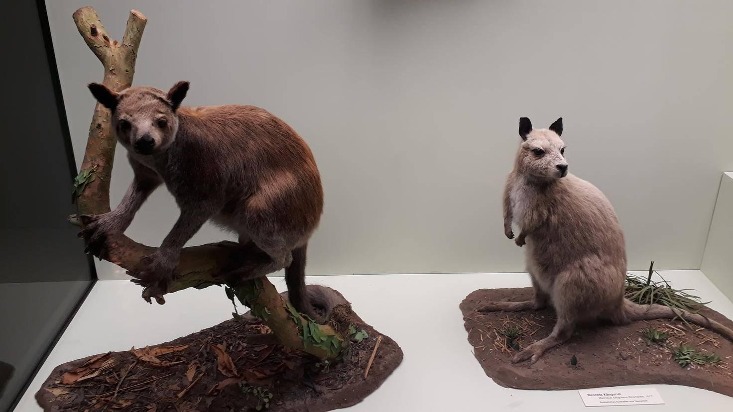 Der Känguru-Schaukasten im Hamburger Zoologischen Museum.