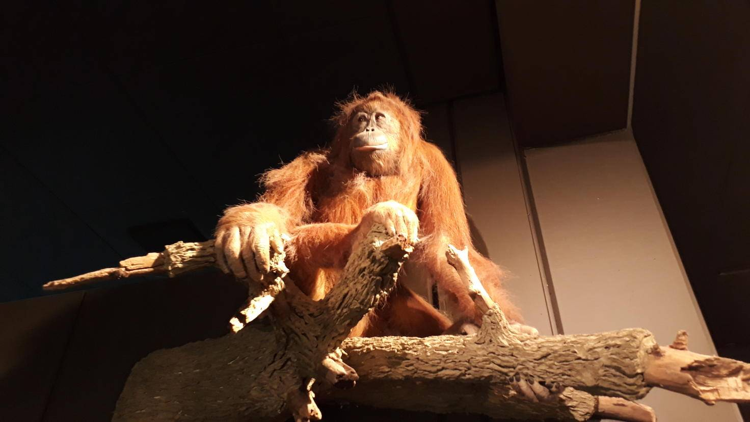 Gut ausgeleuchtete Innenaufnahmen können schön gelingen, wie dieser Orang-Utan.