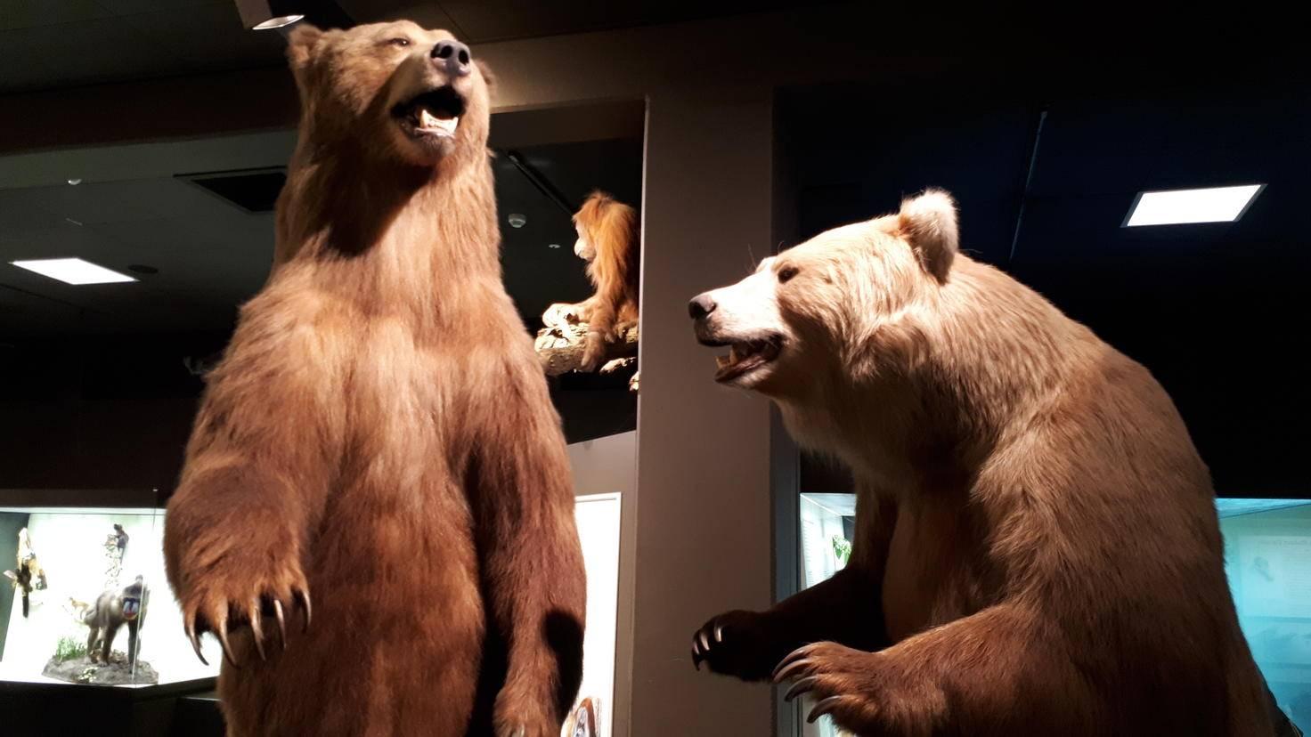Bären mit erkennbaren Haaren im Hamburger Zoologischen Museum.