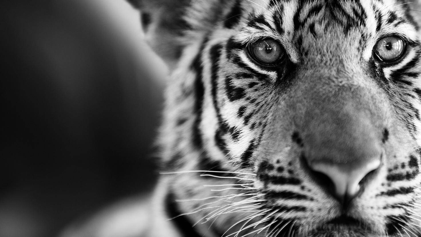 Black & White photo of a young tiger.