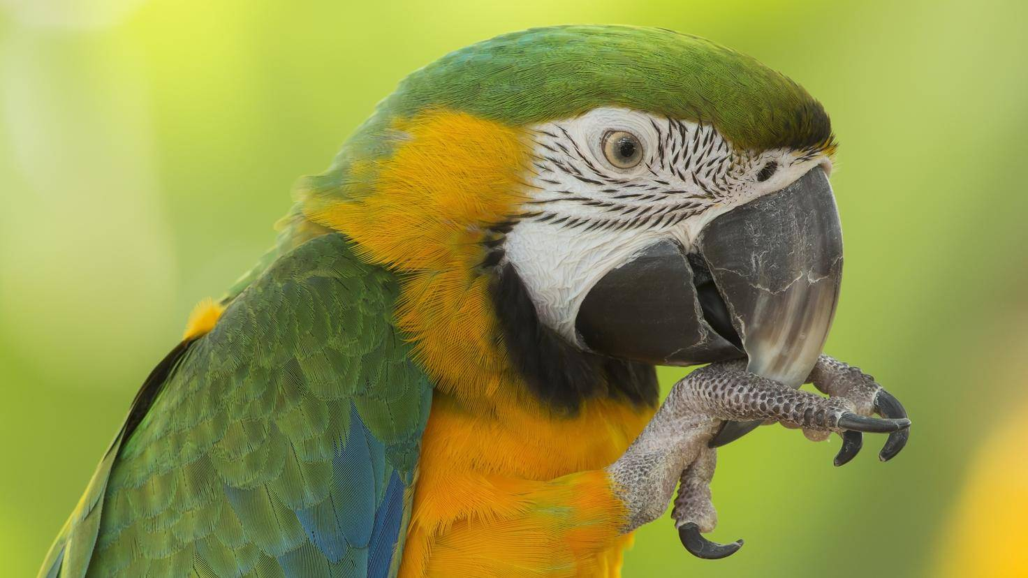 Closeup of a Blue and Gold Macaw