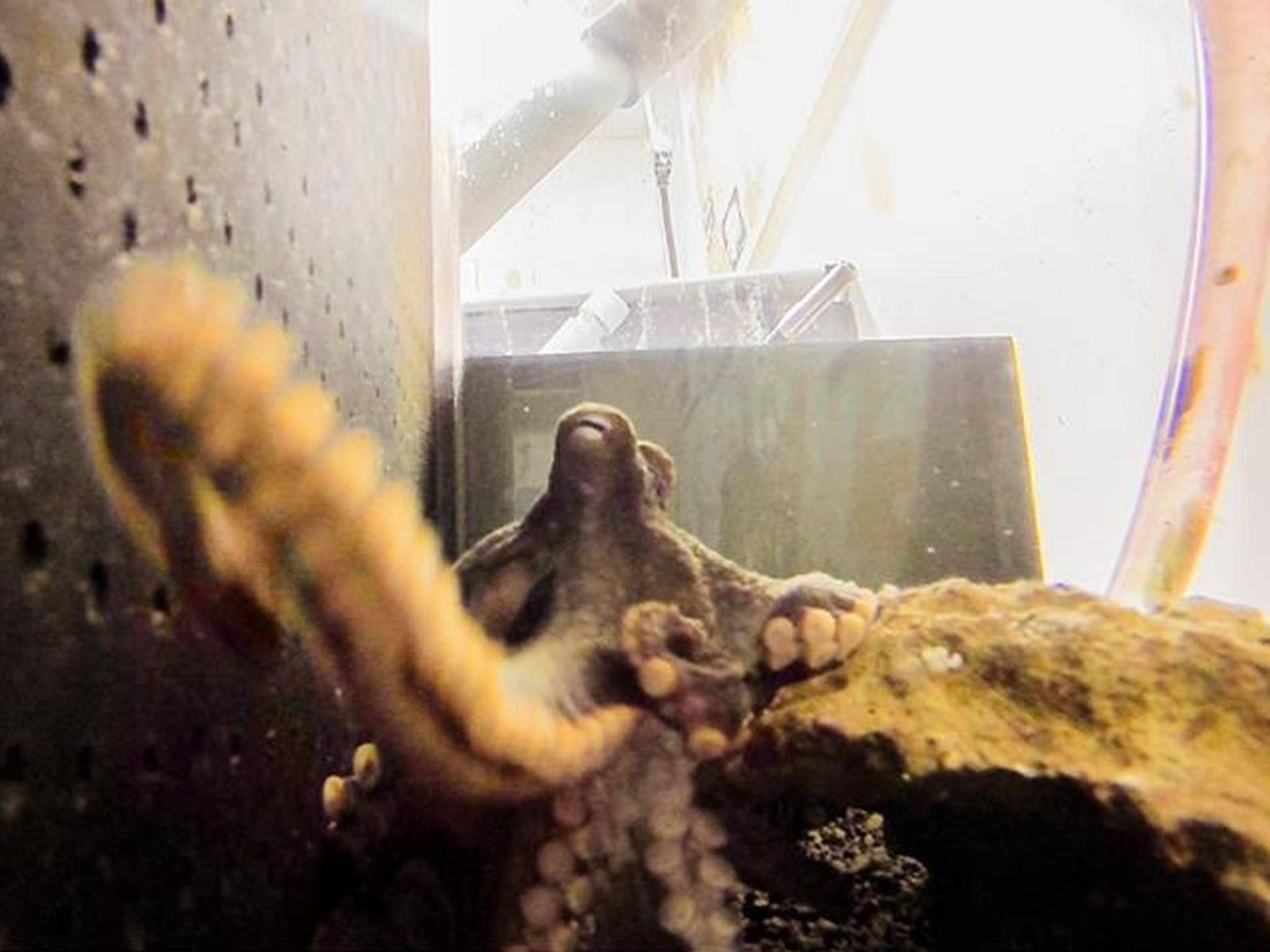 Dieser freche Octopus hatte keine Lust, fotografiert zu werden.