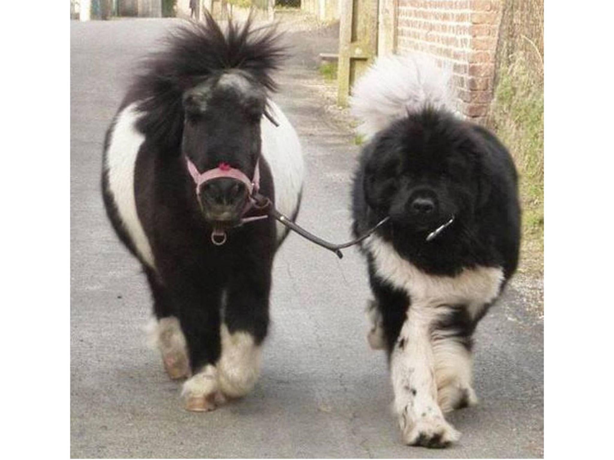 """""""Ich kann nicht, muss mit dem Pony Gassi gehen."""""""
