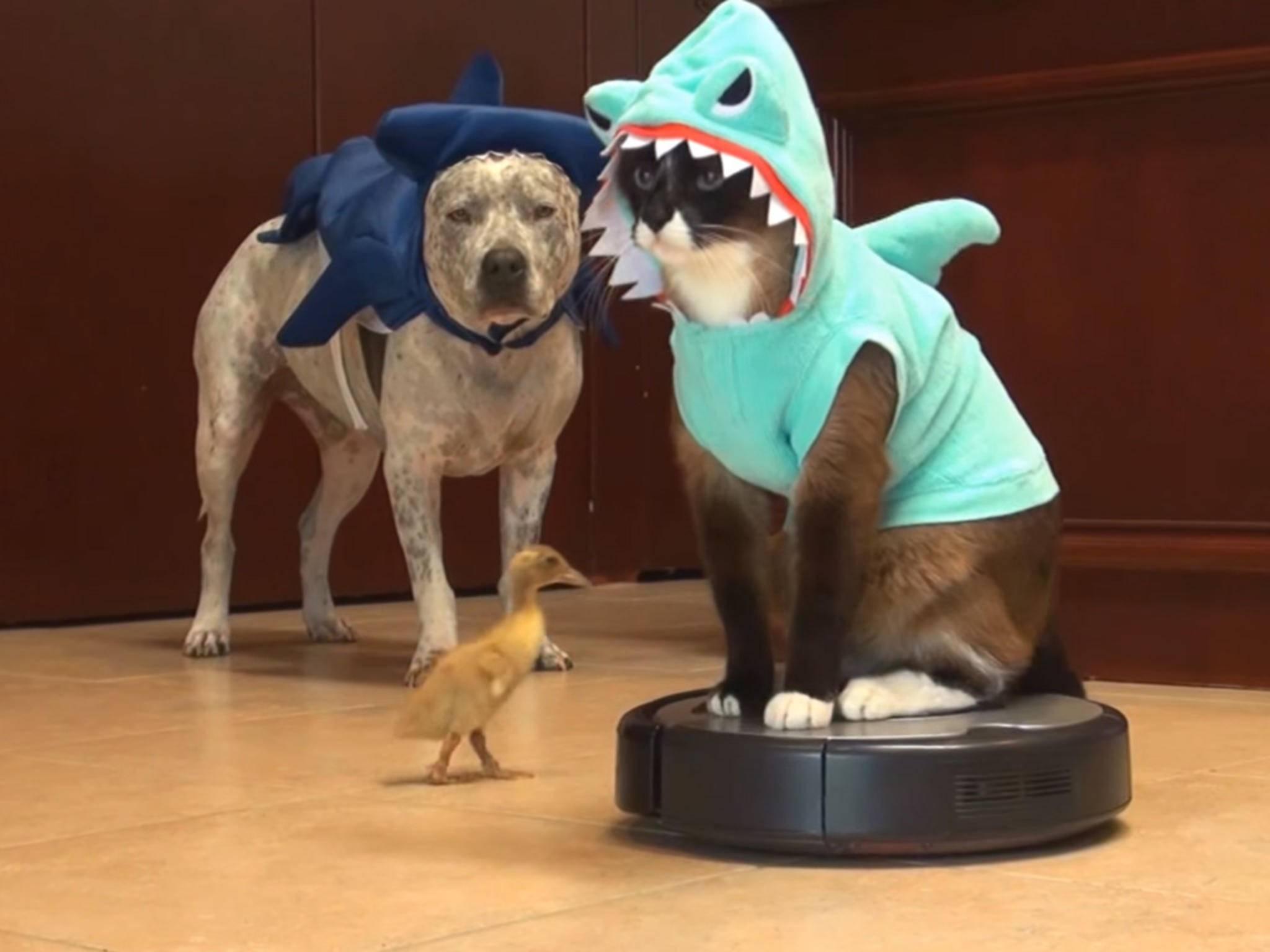WTF?!? Eine Katze in einem Haikostüm verfolgt auf einem Roomba reitend eine Ente...