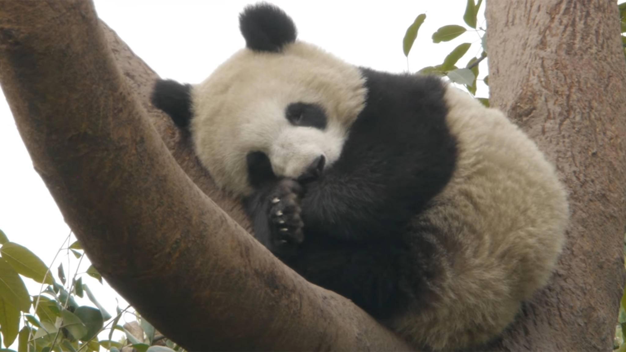 Pandas beim Pennen zuschauen: Nur eine von vielen Möglichkeiten, mit Napflix einzuschlummern.