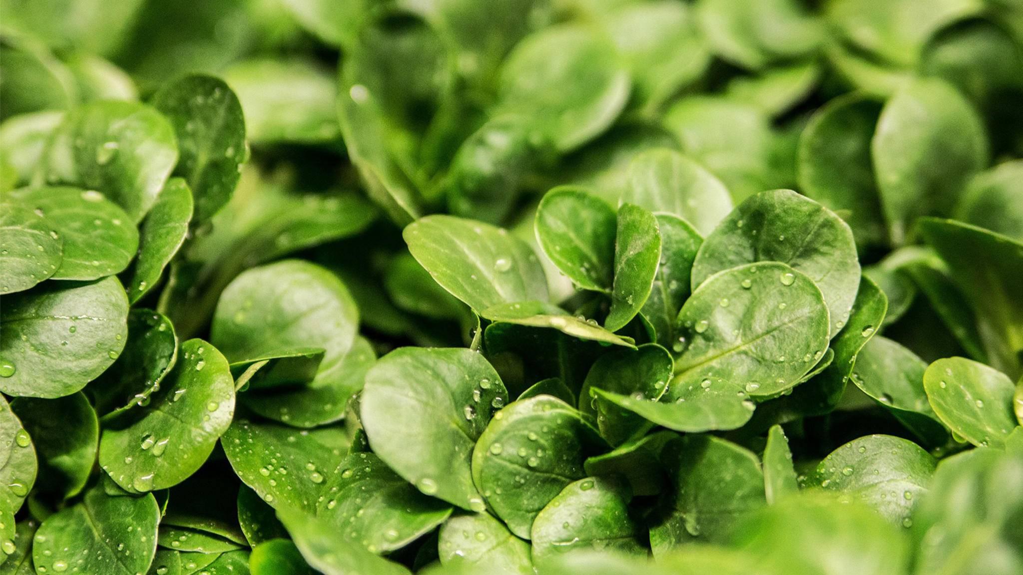 Stiftung Warentest hat aktuell frischen Salat untersucht – mit ernüchterndem Ergebnis.