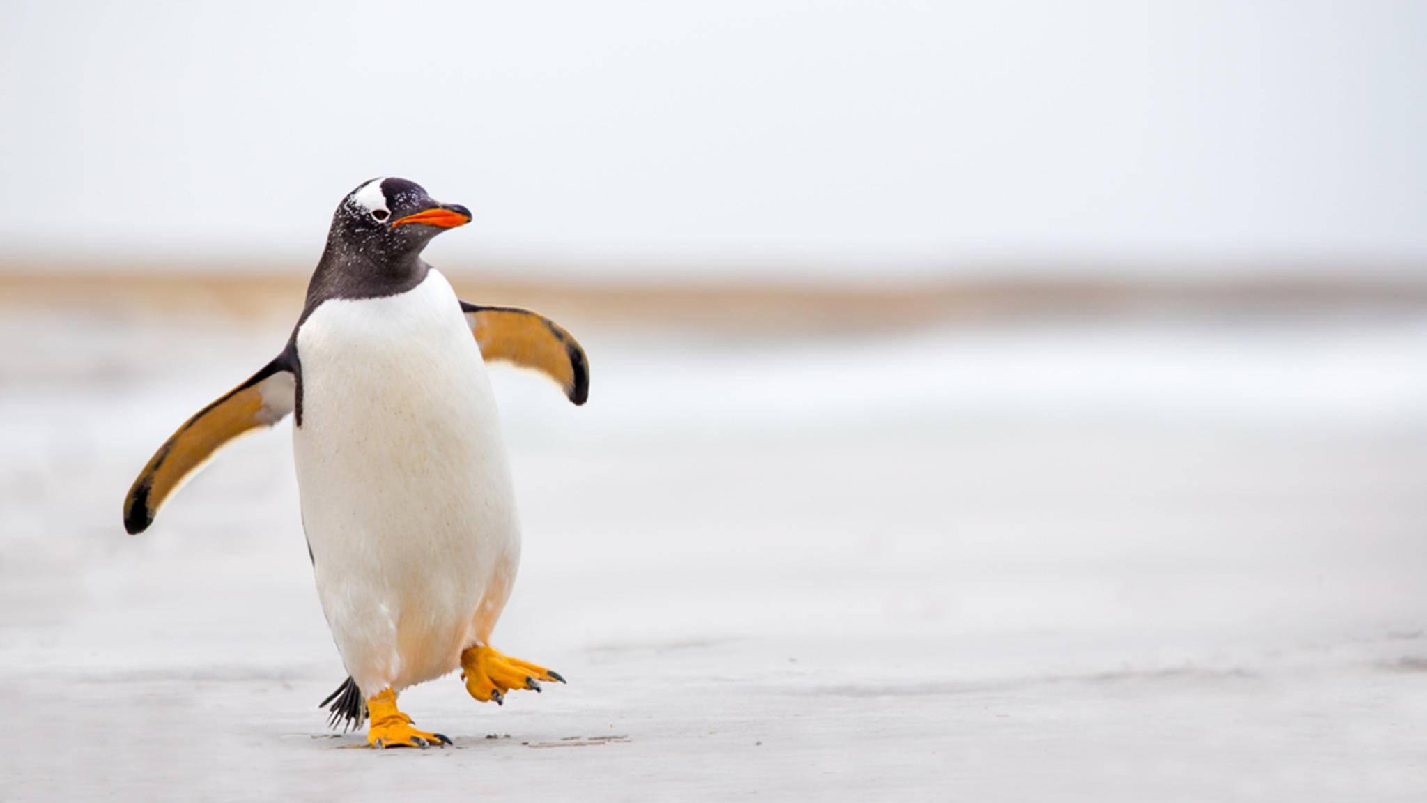 Am 25. April ist Welt-Pinguin-Tag – genau der richtige Zeitpunkt, um den liebenswert-tollpatschigen Zeitgenossen zu huldigen.