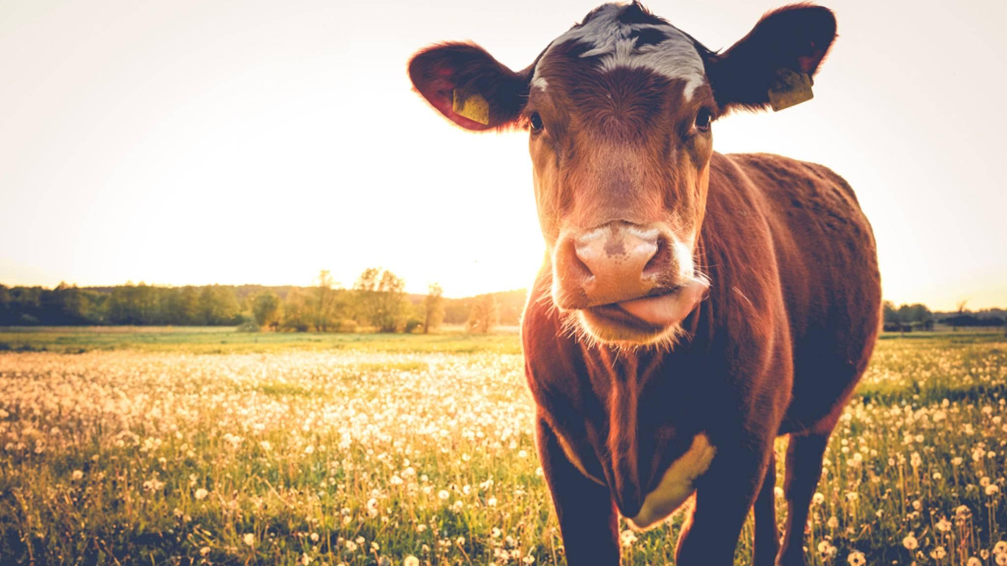 Milch von glücklichen Kühen? Mit Wearable Ushi-ble sollen sich die Tiere im Sommer wohler fühlen.