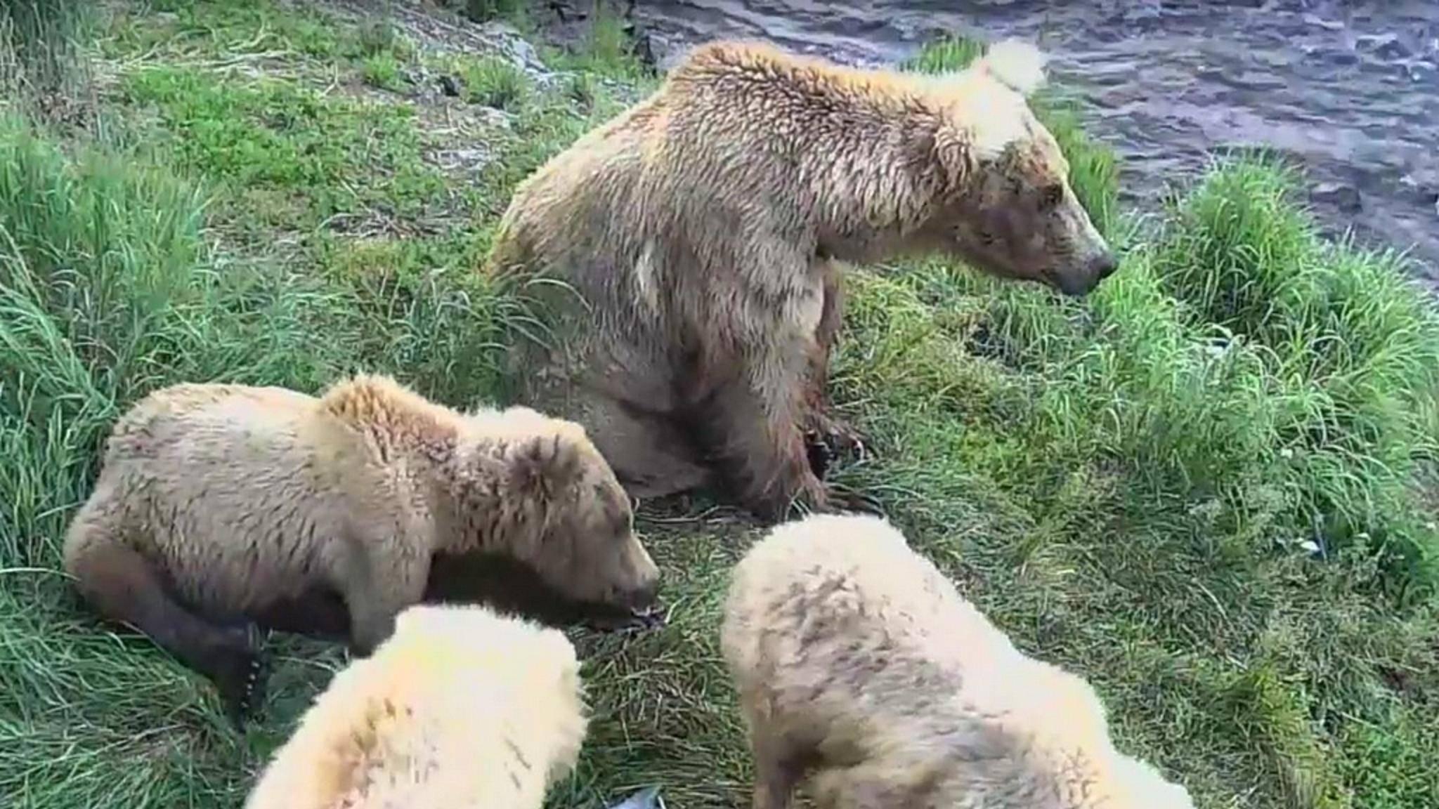 Mit Google Earth lassen sich nun Braunbären in Echtzeit beobachten.