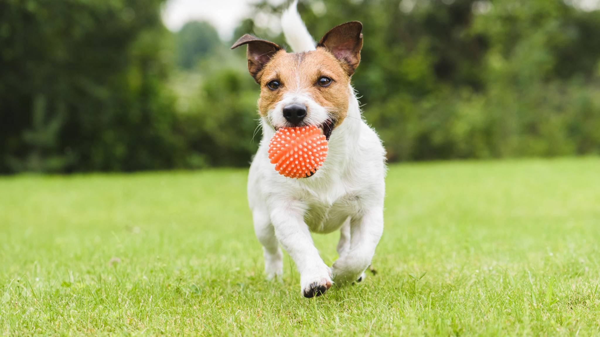Egal, ob groß oder klein: Mit dem Ball spielt fast jeder Hund gerne.