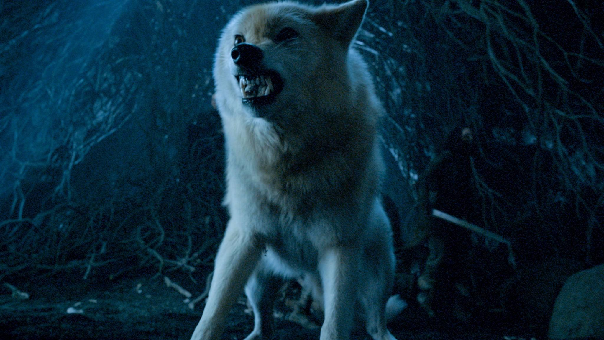 Schattenwolf Geist sollte eigentlich Gesellschaft von vielen seiner Artgenossen bekommen.