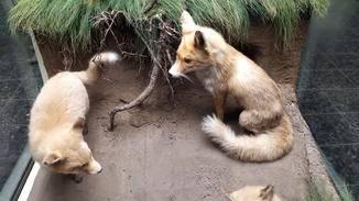 Bei diesen Füchsen im Zoologischen Museum Hamburgs lassen sich die einzelnen Fellhaare unterscheiden.