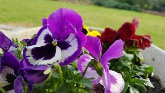 ... das Violett der Blume etwas violetter als in Echt dargestellt.